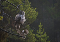 Startled (Happy Photographer) Tags: great gray owl jay attack forest ynp yellowstone national park nature wildlife