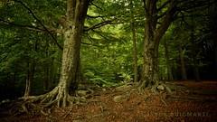 Octubre 2016. (JESS PUIGMART i SNCHEZ) Tags: beech catalonia catalunya barcelona unesco montseny forest foret bosc bosque arbre arrels arbol nikon d7100