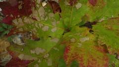 Still Pretty Signs of Distress - IMGP6464 (catchesthelight) Tags: fall foliage fallfoliage leaves colorchange boscawen light oaks distress