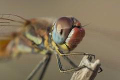 Portrait (jrosvic) Tags: kenkopro300x14 portrait dragonfly libelula sympetrumfonscolombii anisoptera odonata entomology freehand nikond7100 nikon60mm28dmicro cartagena murcia spain
