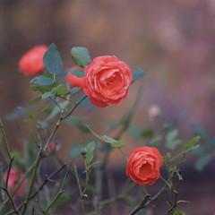 Nottingham Castle Roses (fanmickeywang) Tags: winter nature floraandfauna flower plant rose rosa red oldcamera olympusesystem e300 kodakccd