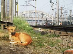 Howrah (Debatra) Tags: howrah india dog canine indianrailways ir irfca railways rail railroad railwaystation hwh hwhdivn howrahterminus howrahdivision easternrailway easternindia eastern er morning canon suburban