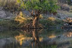 20160827_GreenZambeziReflections_MCM (mcmessner) Tags: africa bjadventures light livingston reflection river roots rorschak southafrica2016 sunrise sunriseboatride tongabezilodge tree water zambeziriver zambia livinstone