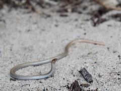 Look dad! I'm a Cobra (Dan Bromley Photography) Tags: aprasia repens reptile legless lizard