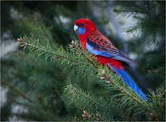 Crimson Rosella (Ineke Struk) Tags: birds australian parrot bright colourful crimson bush