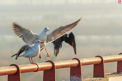Spoilsport (Himanshu Nagar Photography) Tags: seagull white birds flight delhi fogg winters river
