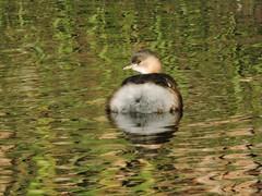 Little grebe (deannewildsmith) Tags: littlegrebe bartonmarina grebe bird earthnaturelife