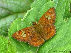 Fulvous pied flat (LPJC) Tags: butterfly munnar kerala india 2015 lpjc fulvouspiedflat skipper pseudocoladeniadan