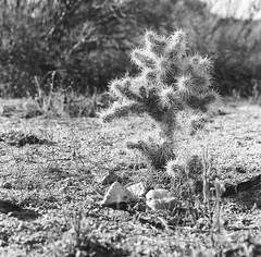Tiny Desert Cactus (alex_foinc) Tags: analog hasselblad 500cm ilford fp4 fp4party blackandwhite noiretblanc monochrome tones plants cactus joshuatree dirt stones twigs weeds filmisnotdead believeinfilm