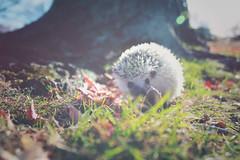 Explore (Dani Stanevicz) Tags: photography hedgehog hedgehogs animal animals pet pets exotic fall autumn seasons perception bokeh