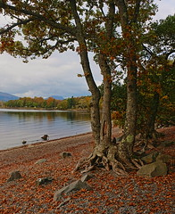 Millarochy October (Gtarman1401) Tags: lochlomond millarochy trees landscape leaves autumn october