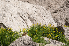 Pika, the cutest alpine animal (GlobalGoebel) Tags: canonef24105mmf4lisusm canoneos5dmarkiii 24105mm grand teton national park wyoming pika tetoncresttrail