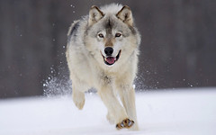 imgprix.com (Leo's Wallpapers) Tags: imgprixcom animals canine canislupus graywolf graywolves minnesota nature predators threatenedspecies timberwolf wildlife wolf wolves