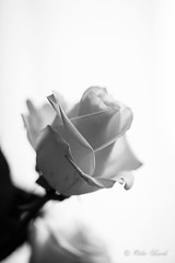 BW White Rose-0959 (Orkakorak) Tags: roses whit red bw