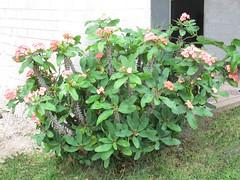 Crown of Thorns (dog.happy.art) Tags: succulent succulents plant euphorbia crownofthorns flower flowers flowering bloom blooms blooming padreisland texas