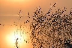 Sunrise at Lake Pieni-Kupsunen (Kuhmo, 20130713, 4:45 am) (RainoL) Tags: 2013 201307 20130713 finland fog july kainuu kn krvpud kuhmo lake mist morning pienikupsunen reflection summer sunrise järviruoko phragmitesaustralis phragmites silhouette orancge