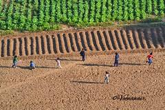 Childhood Unplugged (Veena Nair Photography) Tags: childhood childhoodunplugged india field patterns aerialphotography children nikon