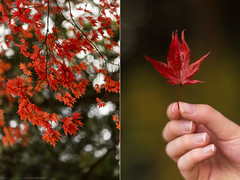 """Every leaf speaks to me, fluttering from the autumn tree.."" - Emily Bronte (CarolienCadoni..) Tags: sonyslta99 sal50f14 50mmf14 diptych leaf leaves fall autumn bokeh dof photography hand backlight outdoor outside"