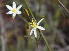 Thelionema caespitosum (dracophylla) Tags: winifredcurtisscamanderreserve tasmania hemerocallidaceae thelionemacaespitosum