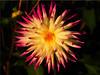 Autumn Beauty (Ostseetroll) Tags: deu deutschland geo:lat=5407425837 geo:lon=1077885737 geotagged hansapark schleswigholstein sierksdorf dahlie dahlia makroaufnahme macroshot blüte blossom
