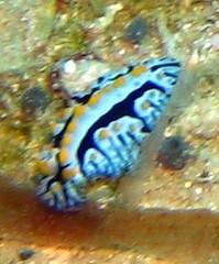 wart slug (Carpe Feline) Tags: carpefeline mauritius scubadiving ocean reefs morayeels anemonefish scorpionfish lionfish arrowcrab nudibranch needlefish underwater