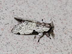 Harpyia microsticta, Notodontidae Dicranuriane (Green Baron Pro) Tags: 200902 frasershill moth lep jelaibungalow notodontidae malaysia