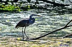 DSC_0947n wb (bwagnerfoto) Tags: kirlygm ardea herodias kanadareiher great blue heron bird madr vogel fauna animal outdoor nature ellenfny lake water nashua usa