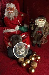 Feliz Navidad.... (cmateosdeporras) Tags: gato cat navidad christmas papa noel santa klaus bolas cristal nikon d5200 rojo red