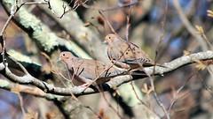 Doves on a Branch (blazer8696) Tags: 2016 brookfield ct connecticut ecw obtusehill t2016 usa unitedstates columbidae columbiformes dove img4711 macroura mourning mourningdove zenaida zenaidamacroura