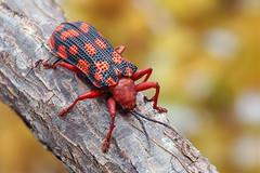 Sceloenopla maculata (Hispinae) (Bruno Garcia Alvares) Tags: cassidinae hispinae besouro beetle chrysomelidae besourocolorido besourosdaamazônia brunogarciaalvares empilhamentodefoco focusstacking fieldstacking pilhadefoco macro macrofotografia macrofotography ef100mmf28macrousm 430exii diydiffuser manfrotto454 insetos insect insetosbrasileiros insetosdobrasil insetosdaamazônia amazoninsects colorfulinsects coleoptera coleoptero