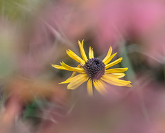 Back in the Back. (Omygodtom) Tags: flickr flower blackeyedsusan yellow pink natural nature nikon d7100 dof selectivefocus outdoors nikon70300mmvrlens wow pov