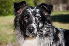 IMG_2852 (Celtycrow) Tags: chien berger australien sheperd