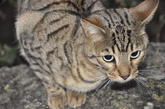 Up To No Good (Natalie Coles) Tags: animal outdoor bengal cat pretty naughty fur kitty cute beautiful wild domestic whiskers eyes