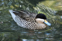 Puna Teal (mattpitchford) Tags: ducks teals punateal waterfowl