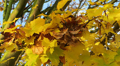 2-IMG_4239 (hemingwayfoto) Tags: ahorn baum blatt frbung gelb herbst herbstlaub jahreszeit laub natur samen