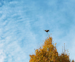 I guess I'm the king/queen of the castle (annapolis_rose) Tags: vancouver crow corvid tree autumn