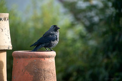 Staring back at me (OR_U) Tags: 2016 oru uk scotland carrbridge hoodedcrow crow bird animal closeup chimney roof bokeh countingcrows one jackdaw dohle