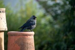 Staring back at me (OR_U) Tags: 2016 oru uk scotland carrbridge hoodedcrow crow bird animal closeup chimney roof bokeh countingcrows one jackdaw dohle