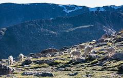 Mountain Goats (PhotoBobil) Tags: colorado mtevans mountaingoat