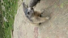 Marmot video - short - 6 seconds (Jackie & Dennis) Tags: marmot saasfee spielboden video spielbodenmarmots marmots switzerland swiss murmeltier marmotamarmota marmota marmotte