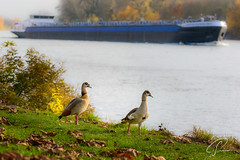 Tierische Schiffspotter :) (Bluespete) Tags: cc frachtschiff idylle mittag nilgans pause rhein rheinidylle schiff wiesbaden exif:aperture=ƒ45 exif:focallength=110mm exif:lens=7003000mmf4556 exif:isospeed=640 exif:model=nikond7100 geolocation camera:model=nikond7100 exif:make=nikoncorporation camera:make=nikoncorporation