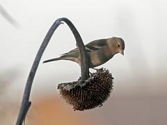Fringuello - Fringilla coelebs - Chaffinch (vieri bertola) Tags: uccelli lipu racconigi fringuello