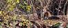 C'est bien un monsieur Renard et il a des puces ! (mamnic47 - Over 6 millions views.Thks!) Tags: parcdeschanteraines hautsdeseine gennevilliers renard renardroux 28112016 réserveornithologique sigma150600mm img5839
