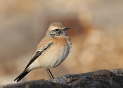 Desert wheatear (Oenanthe deserti) (Chiv3) Tags: