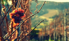 Late grapes (DrQ_Emilian) Tags: grapes vine vineyards autumn fall november light sunlight sun color dof bokeh detail closeup exoticimage greenscene