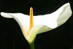 Calla lily - Zantedeschia (ivlys) Tags: california sanfrancisco botanischergarten botanicalgarden calla callaliliy zantedeschia blume flower blte blossum weis white nature ivlys