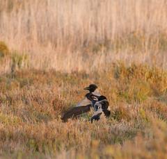 Hooded crows (jan.stefka) Tags: canoneos7d vrnaed corvuscornix stagnodimistras sardinie 2016 hoodedcrow sardegna sardinia