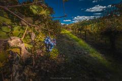 Derniers Raisins @Poilhes (Benjamin MOUROT) Tags: bleu vignes wine vineyard wineyard vignoble raisin grappe 70d 1022mm f16 oubli landscape nature herault languedoc roussillon france south suddefrance occitanie récolte vendanges colorful view pov light
