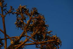 IMG_6202 (eugeniointernullo) Tags: holiday vacanza marzamemi sicily sicilia sicilianità agave fiore fiori flower semelparo summer estate
