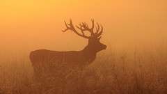 Sunrise stag (Hammerchewer) Tags: reddeer deer stag wildlife sunrise mist outdoor animal
